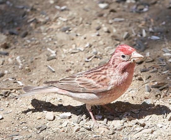 Cassin's Finch (male)