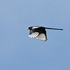 Yellow-billed Magpie, Panoche Valley
