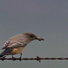 Say's Phoebe with moth