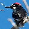Acorn Woodpecker (male)