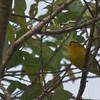 FOS Wilson's Warbler