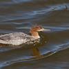 Red-breasted Merganser - Pescadero Creek Mouth