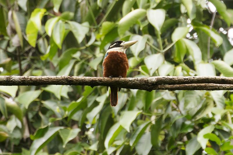 Rufous-bellied Kookaburra