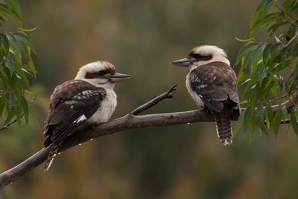 088 Alcedinidae - Kingfishers