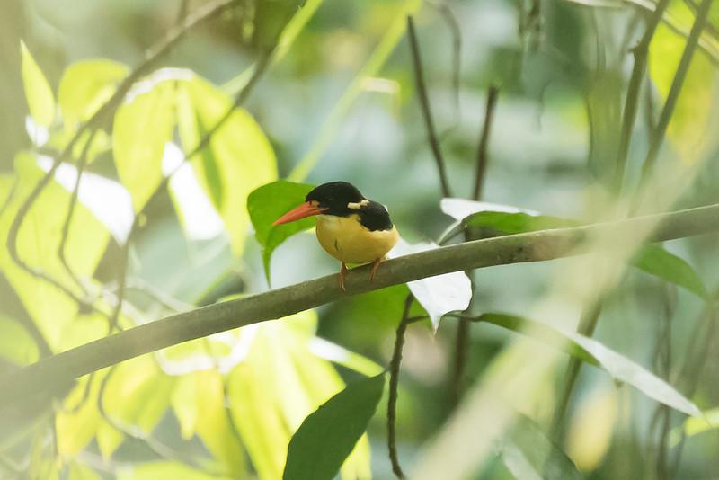 Buru Dwarf Kingfisher