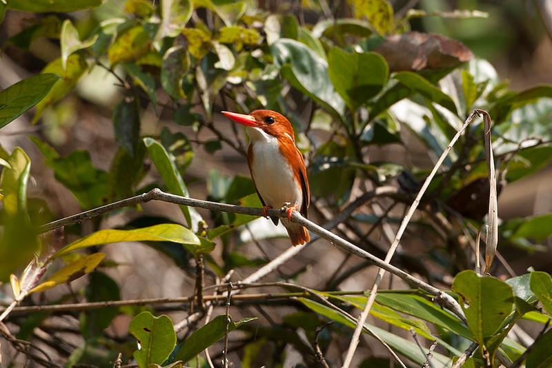 Madagascan Pygmy Kingfisher