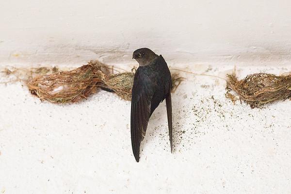081 Apodidae - Swifts & Swiftlets