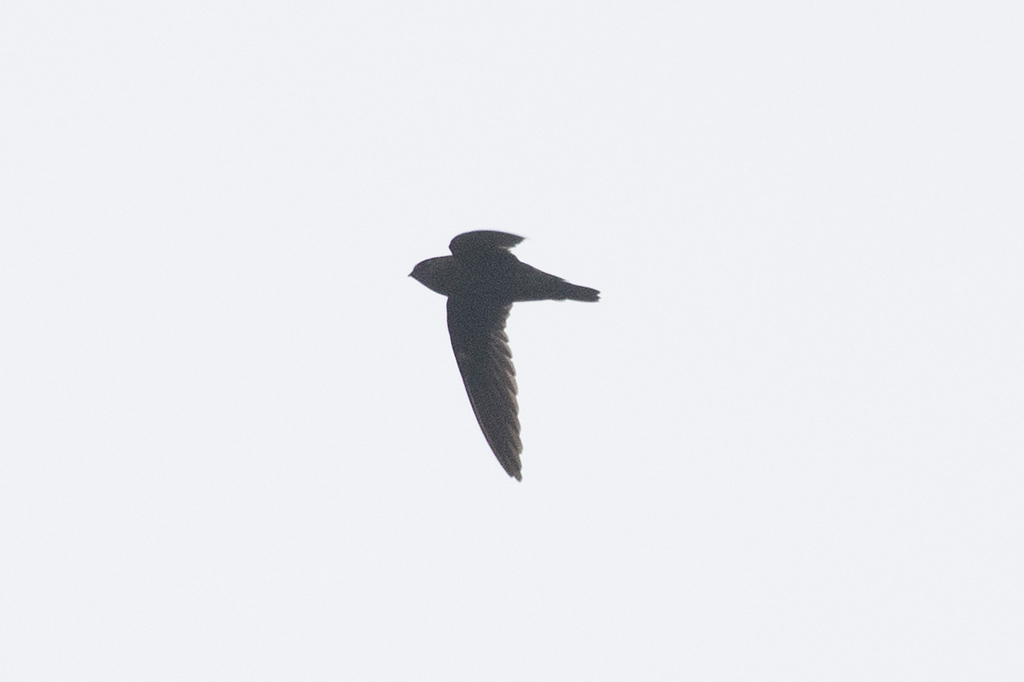 Giant Swiftlet