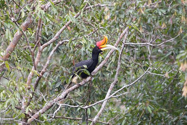 094 Bucerotidae - Hornbills