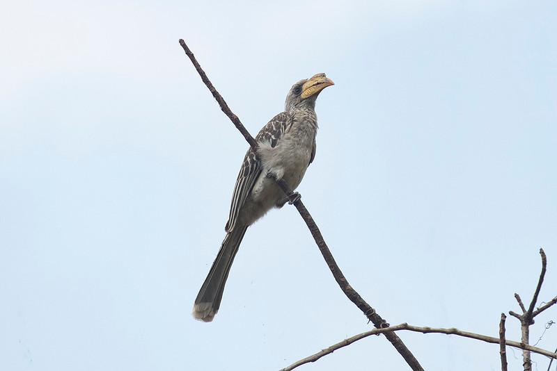 Pale-billed Hornbill
