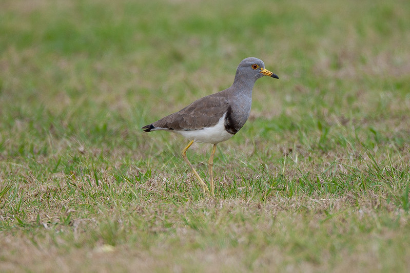 Grey-headed Lapwing