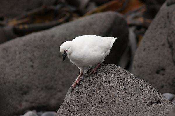 051 Chionidae - Sheathbills