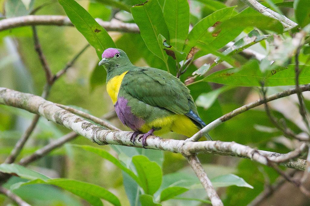 Yellow-bibbed Fruit Dove