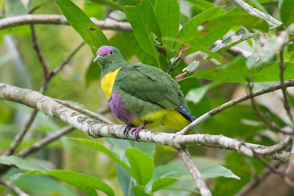 069 Columbidae - Pigeons & Doves