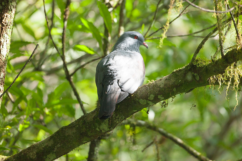 Goliath Imperial Pigeon