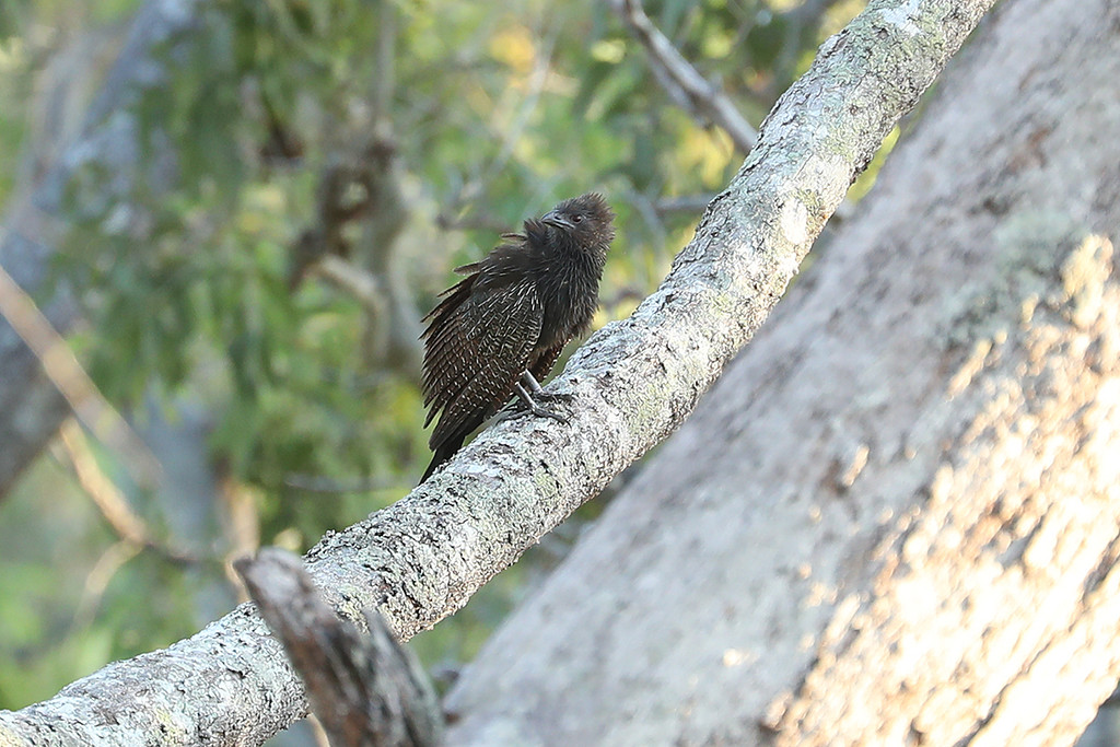 Pheasant-tailed Coucal