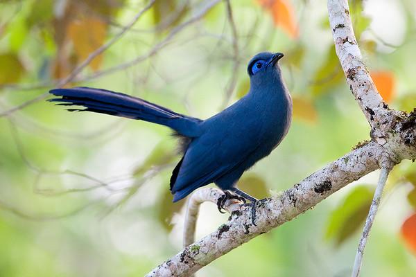 072 Cuculidae - Cuckoos