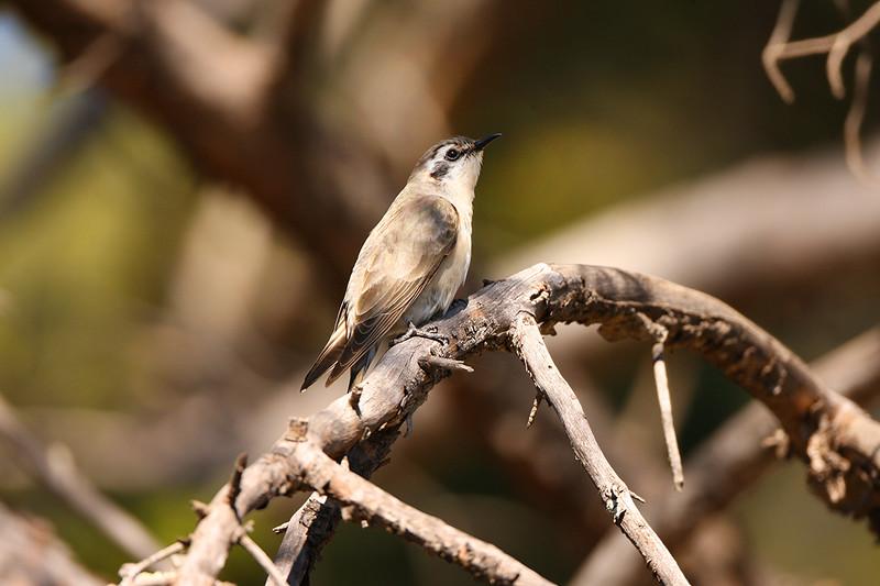 Black-eared Cuckoo