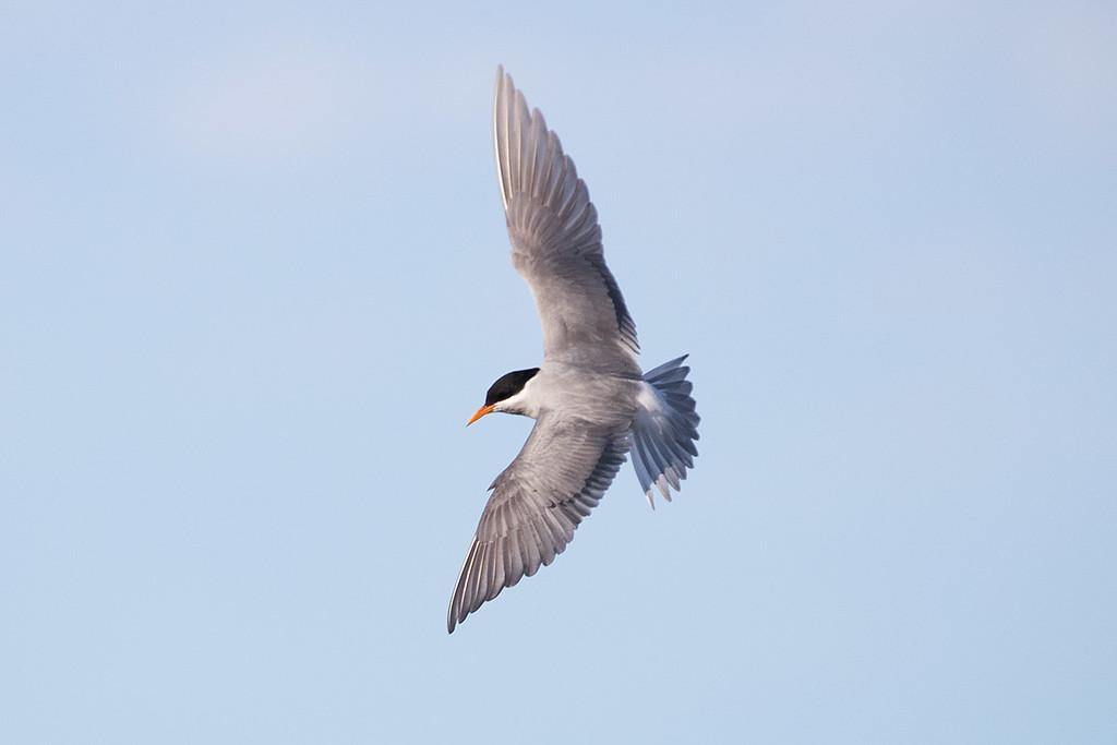 Black-fronted Tern
