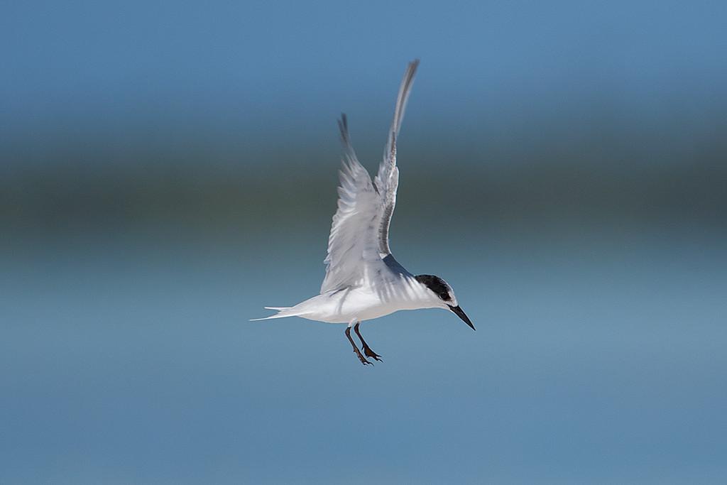 Saunders's Tern