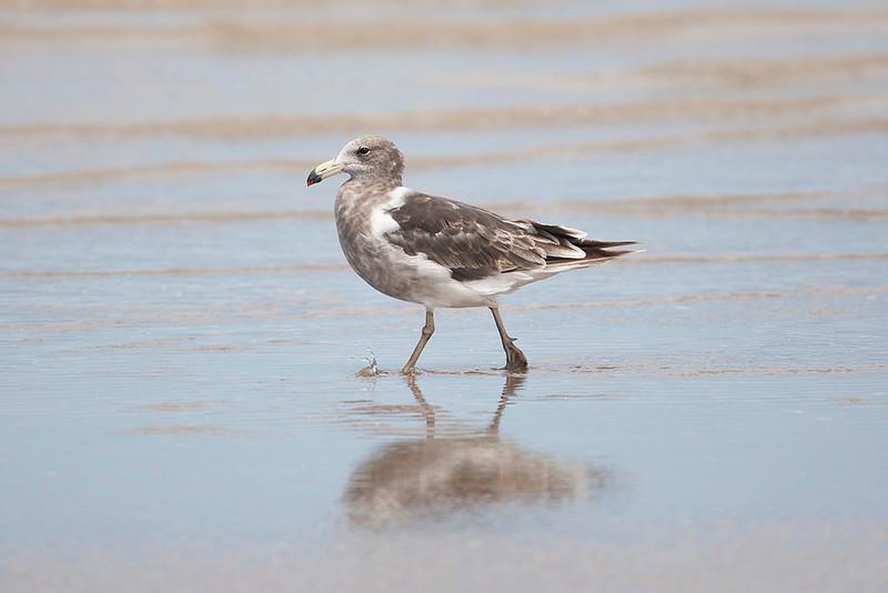 Orlog's Gull