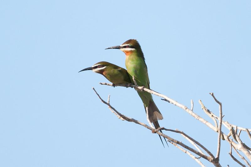 Olive (Madagascar) Bee-eater