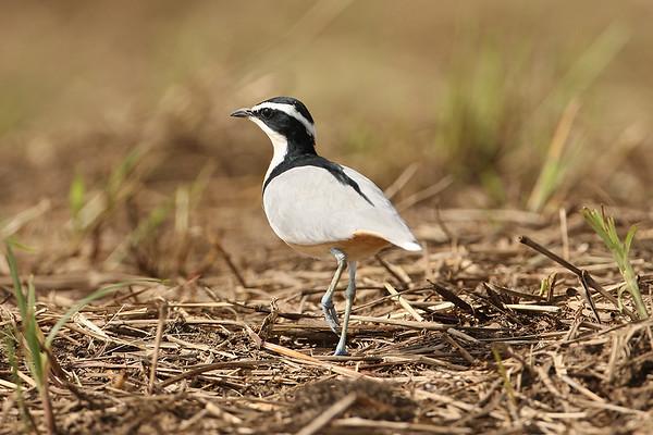 058 Pluvianidae - Egyptian Plover