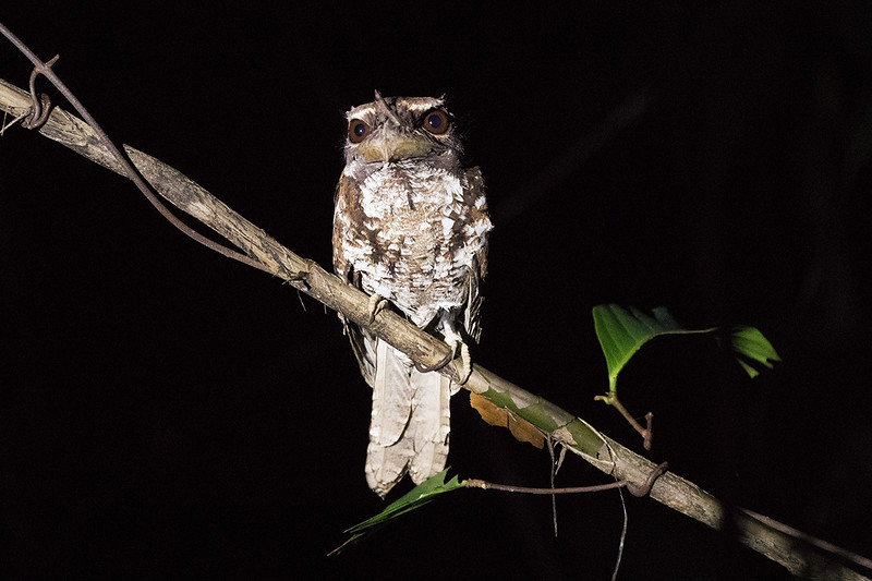 Marbled Frogmouth (race ocellatus)