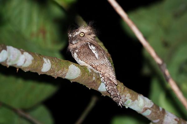075 Podargidae - Frogmouths