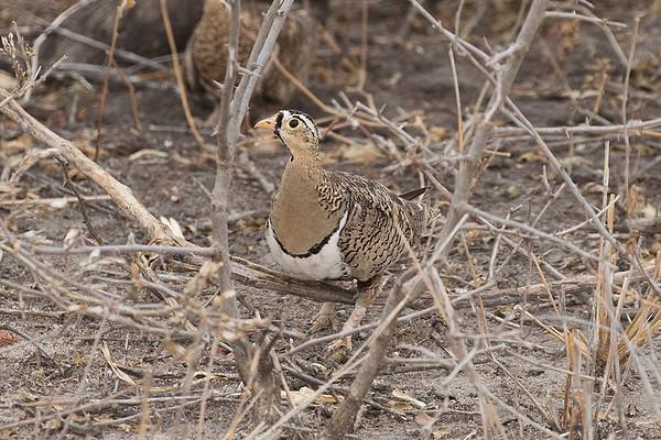 067 Pteroclidae - Sandgrouse