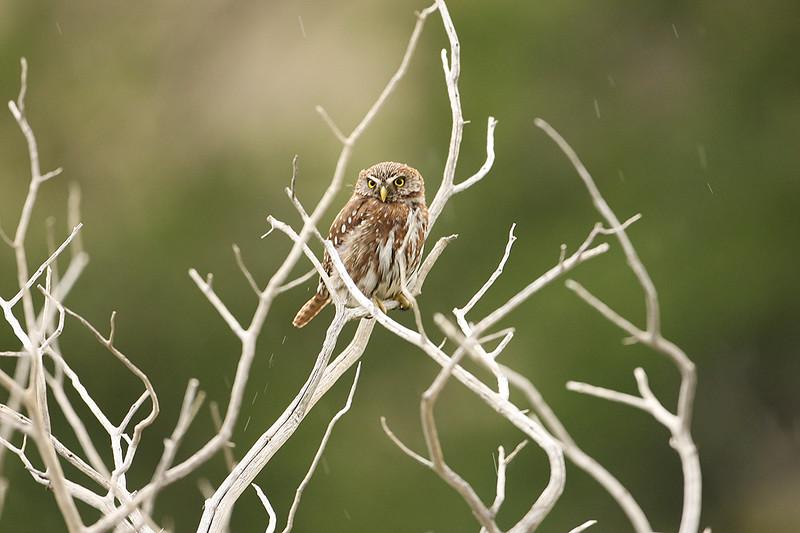 Austral Pygmy Owl