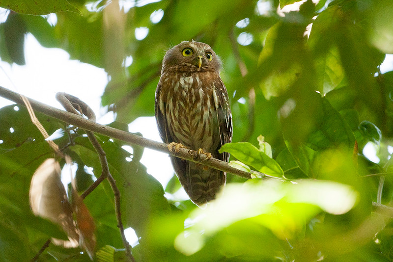 Luzon Hawk-Owl