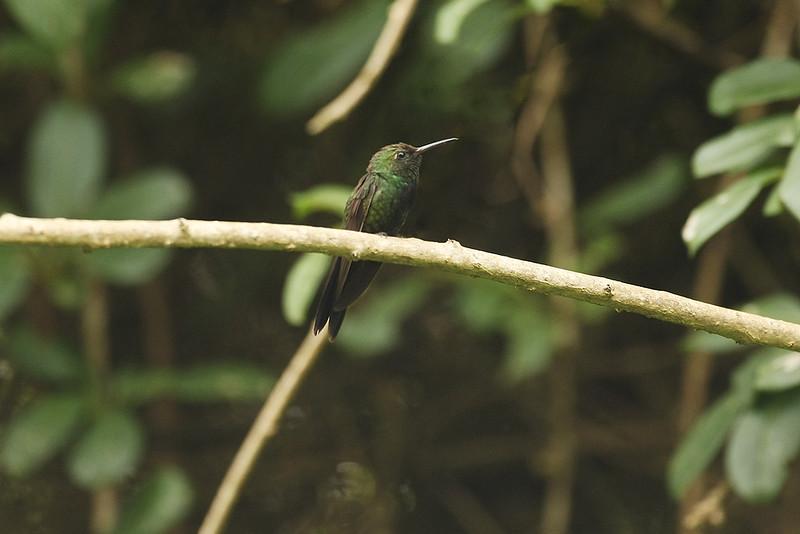 Hispaniolan Emerald