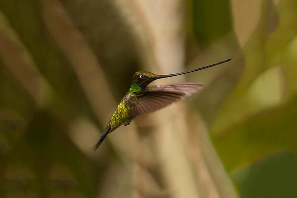 082 Trochilidae - Hummingbirds