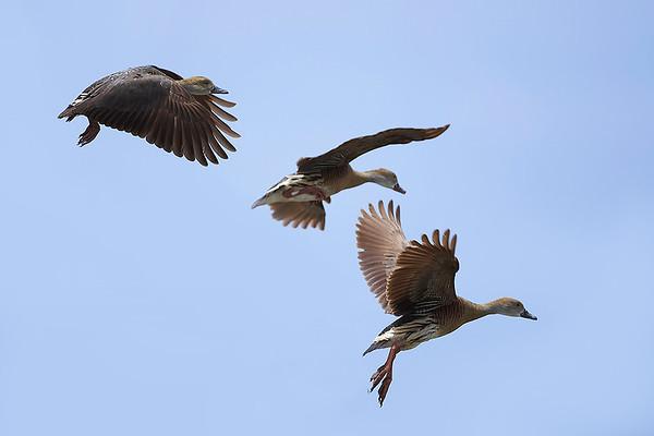 009 Anatidae - Ducks, Swans & Geese
