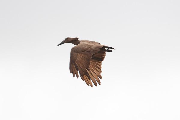 027 Scopidae - Hamerkop