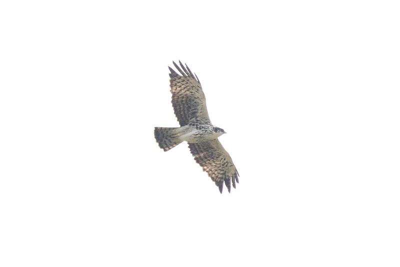 Ayer's Hawk Eagle
