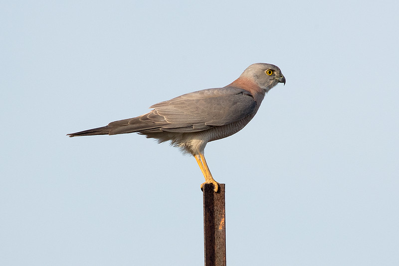 Brown Goshawk (probably of the race polycryptus)