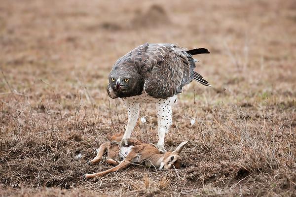 036 Accipitridae - Kites, Hawks & Eagles