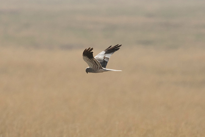 Montigue's Harrier