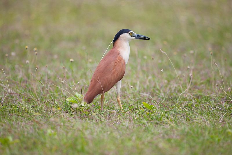 Nankeen Night Heron