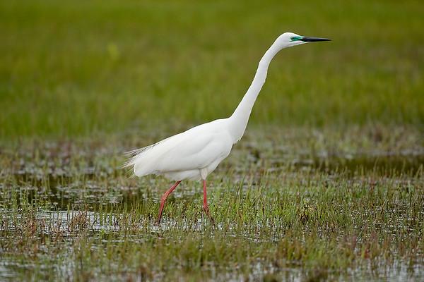 026 Ardeidae - Egrets, Herons & Bitterns