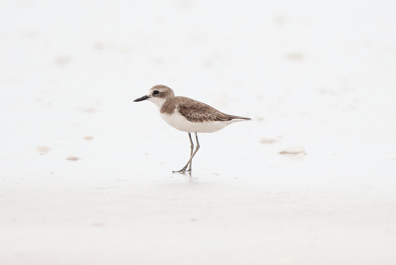 Large Sand Plover