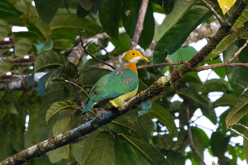 Pink-spotted Fruit Dove