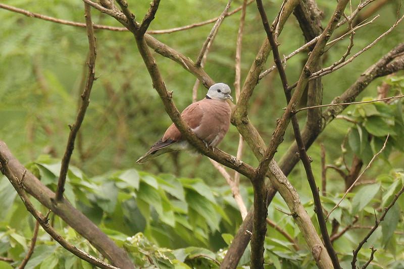 Red Turtle Dove