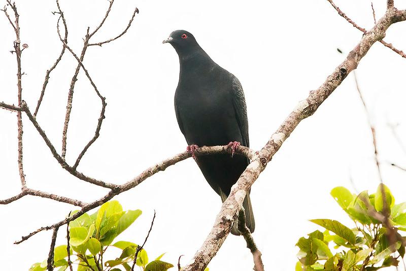 Black Imperial Pigeon