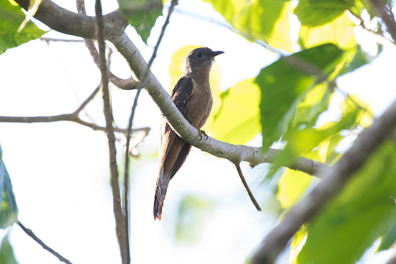 Moluccan (Brush) Cuckoo