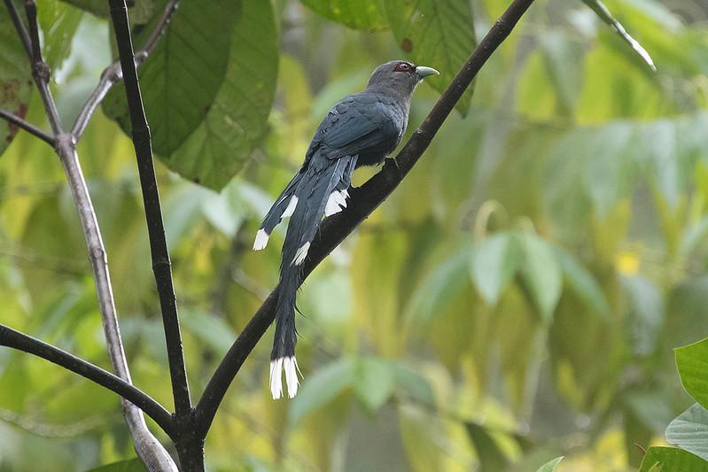 Green-billed Malkoha