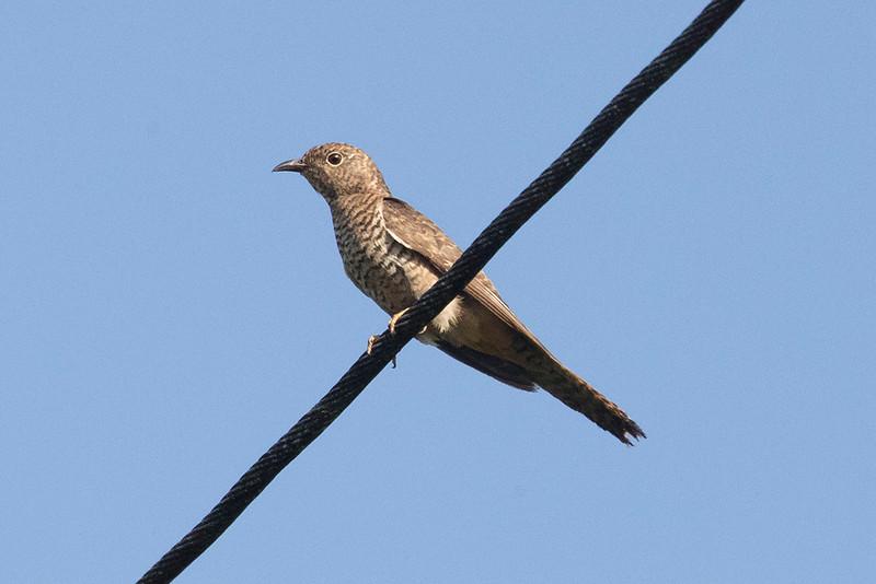 Brush Cuckoo (Hepatic female)