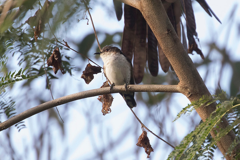 Little Bronze Cuckoo  (Pied form)